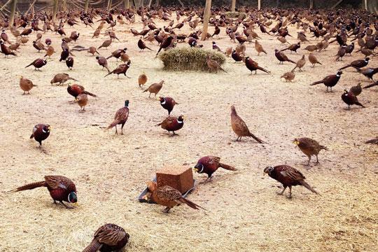 Shady Knoll Game Birds